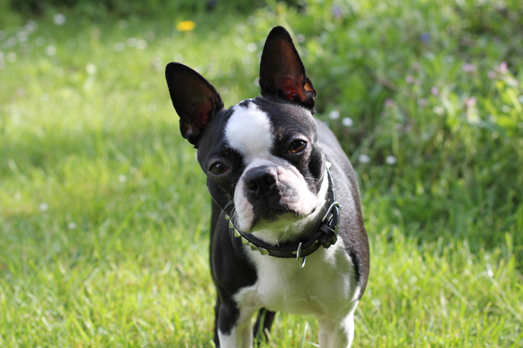 GEORGE_BOSTON_TERRIER