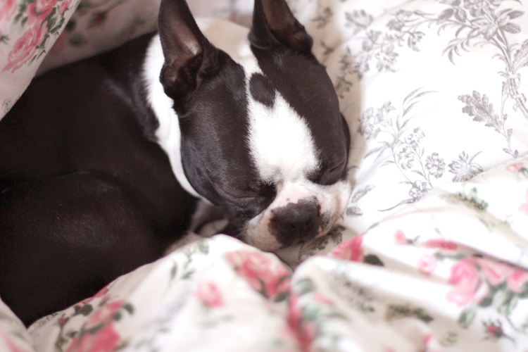 GEORGE_BOSTON_TERRIER_1