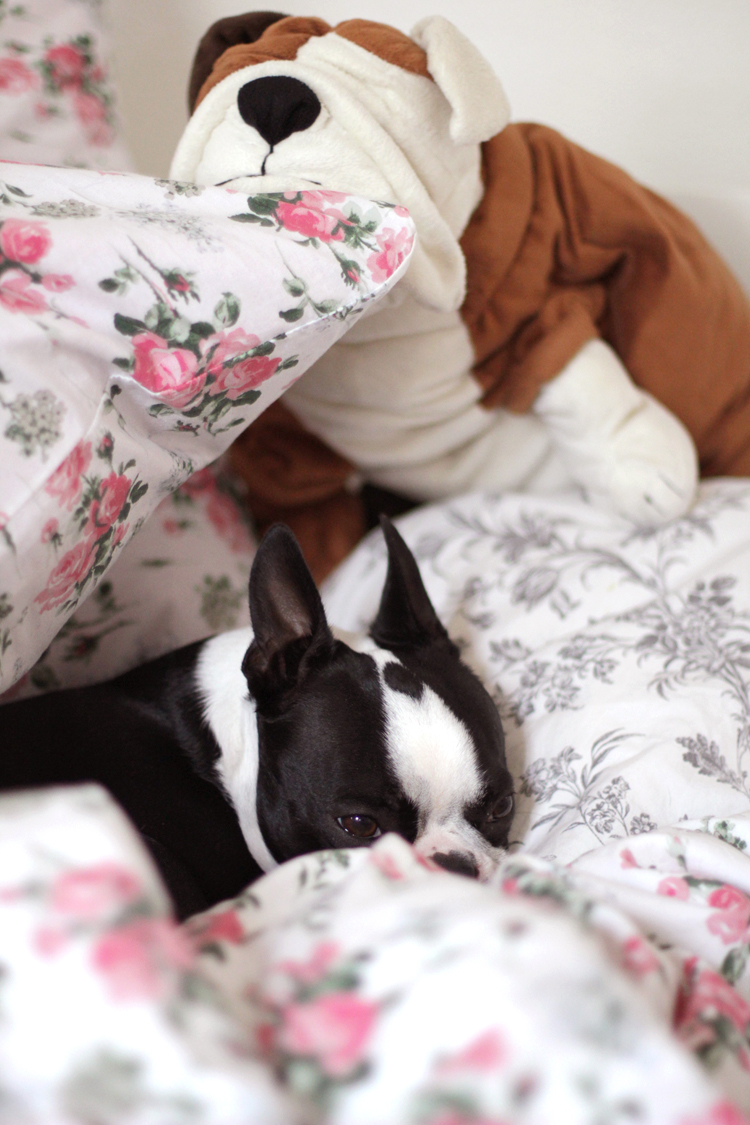 GEORGE_BOSTON_TERRIER_2
