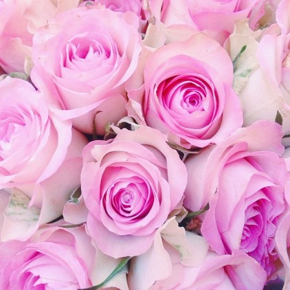 ROSES_FLOWERS_PINK